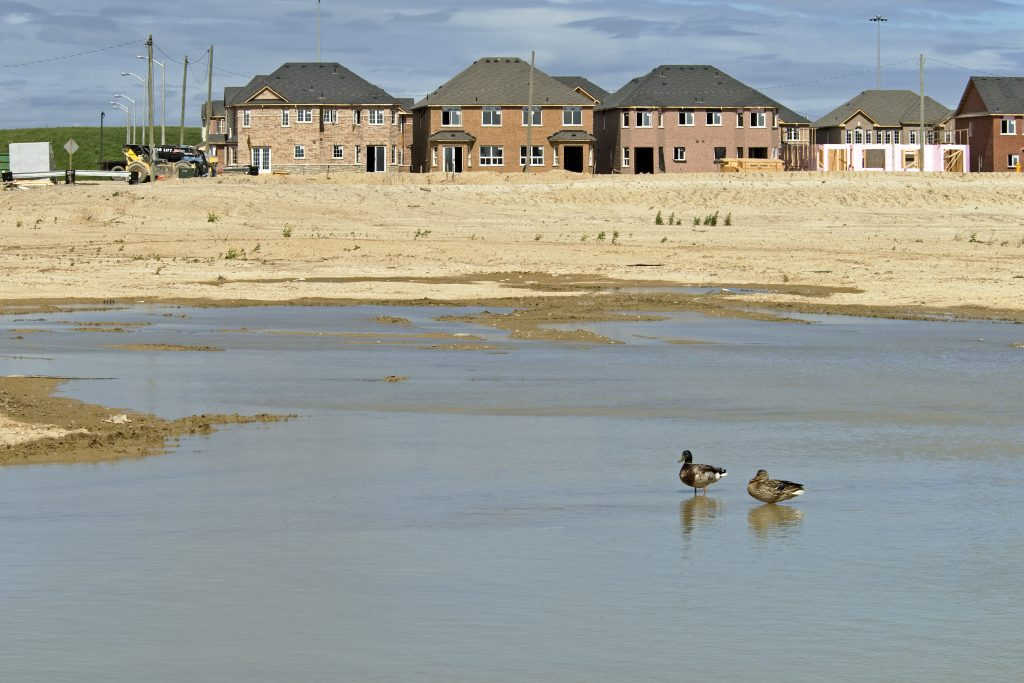 Mallard pair in new housing development
