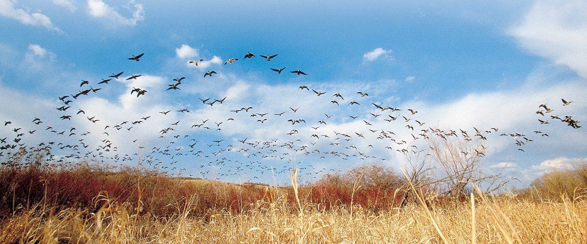 Flock of geese flying over wetland.