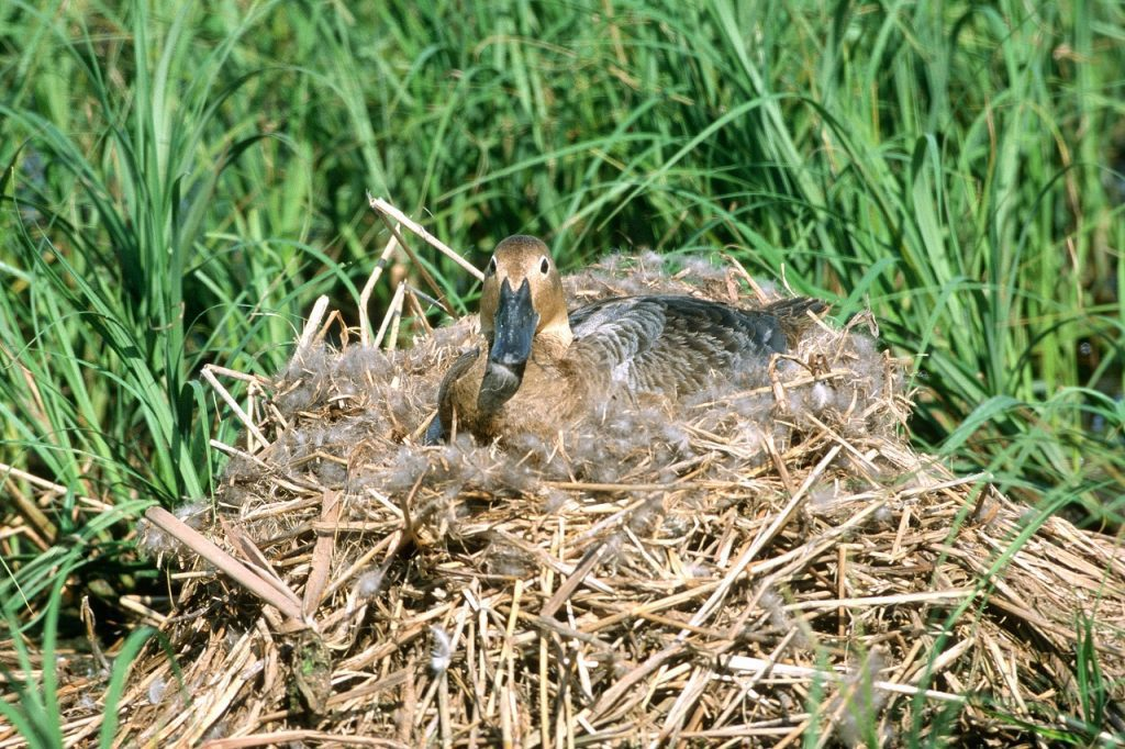 Hen sitting on an egg