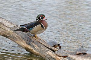 wood duck on log next to turtles