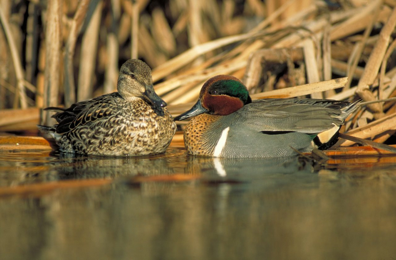 Canadian habitat conservation helps North American ducks hold steady