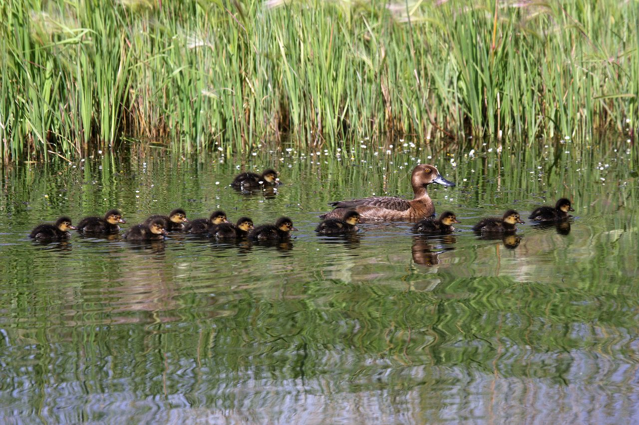 Sleuthing for scaup