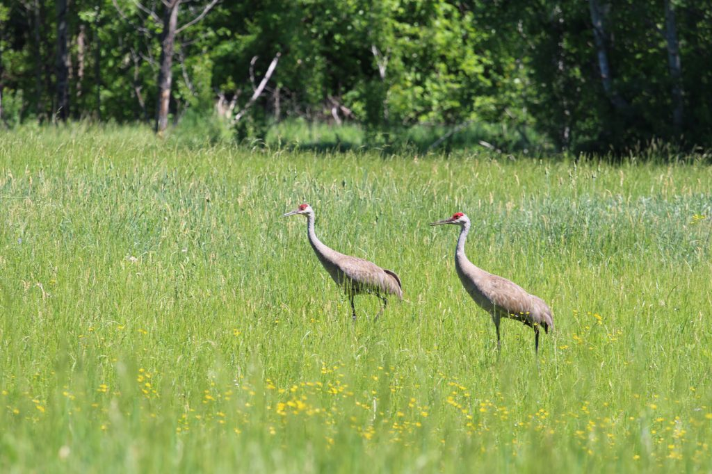 Sandhill Cranes at Cooper Marsh