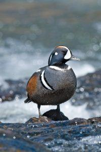 Harlequin duck standing