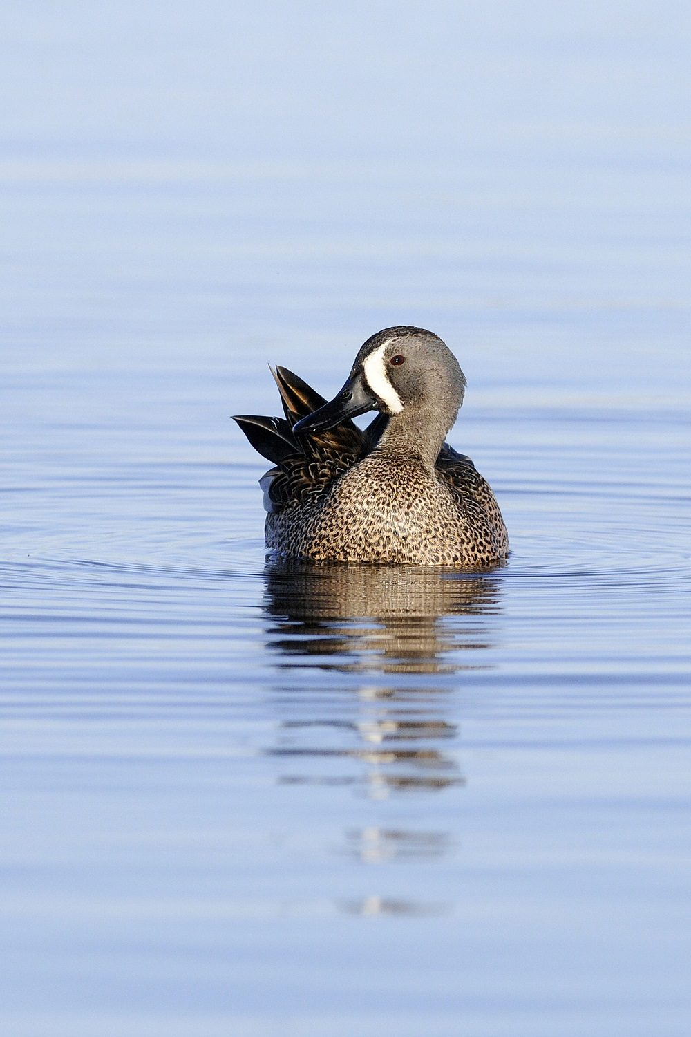 Know Your Waterfowl Ducks Unlimited Canada Blue Duck Winged Teal