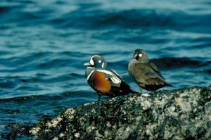 Harlequin pair standing on rocks. Professional quality file available