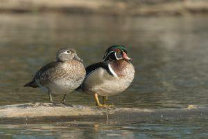 wood duck pair on land