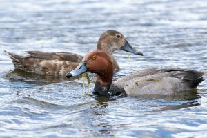 Redhead pair, feeding.