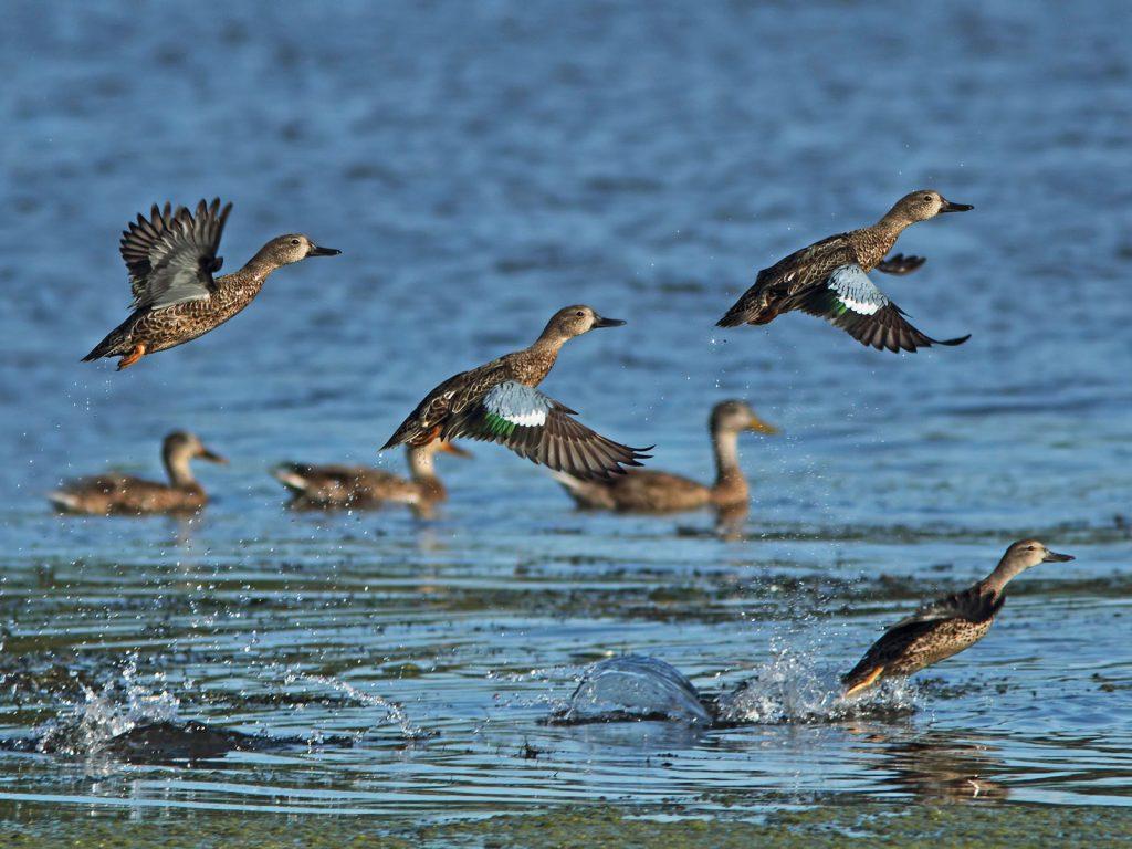 teal migration