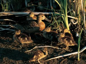 migration and broods