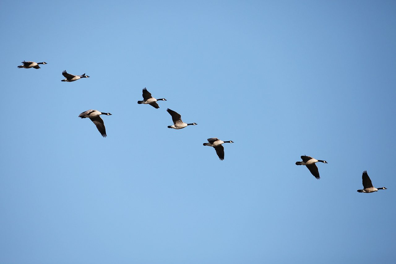 Why are the birds flying north — again?