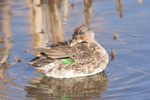 green-winged teal in moult