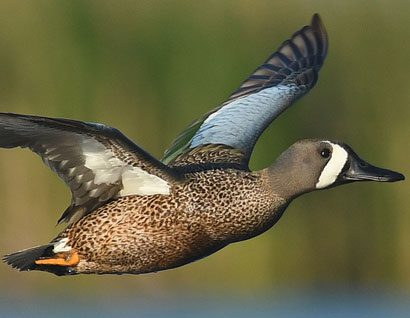 Duck numbers keep flying high