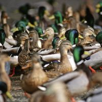 Waterfowl FAQ