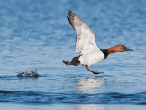 canvasback taking flight