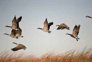 Learn about waterfowling in each of the flyways