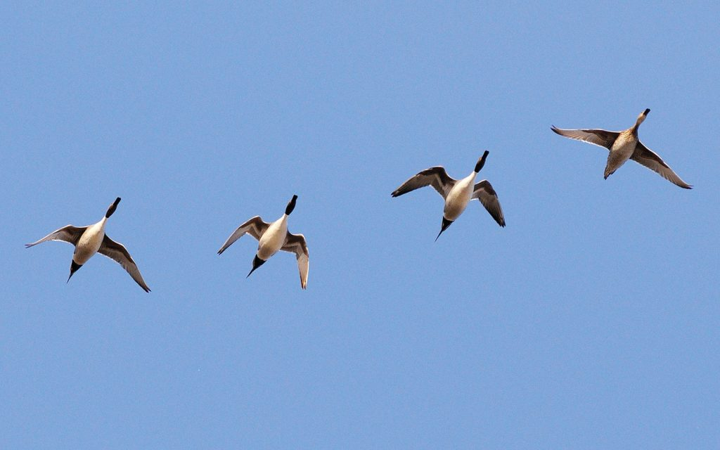 pintail idenficiation