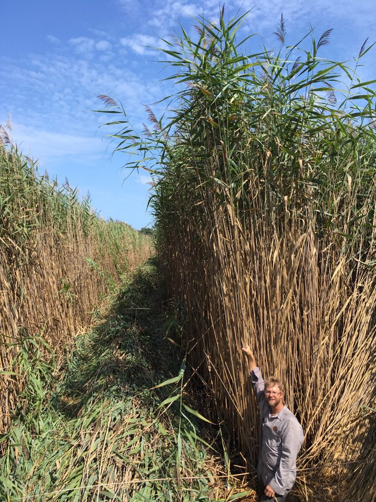 man standing next to tall phragmites