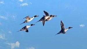canvasback flock in flight