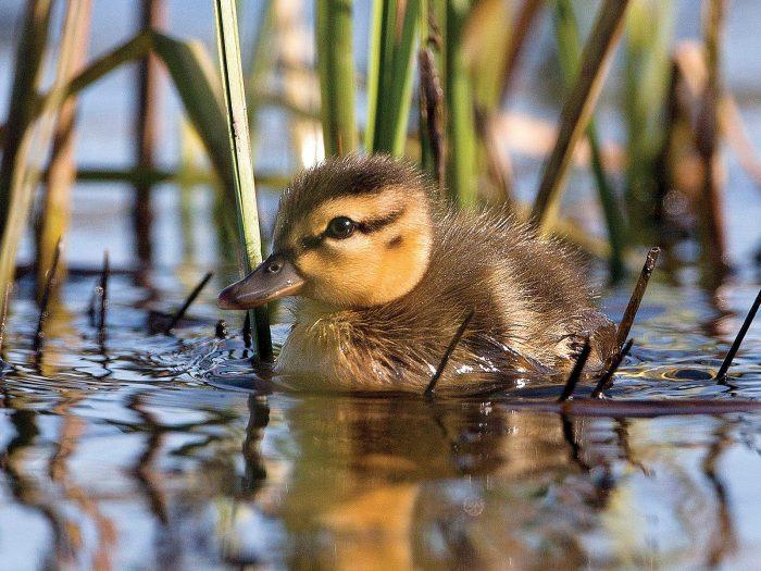 Mallard duckling.