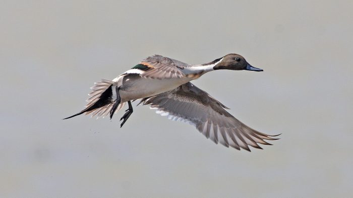 Up to 25 per cent of pintail overwinter in Mexico.
