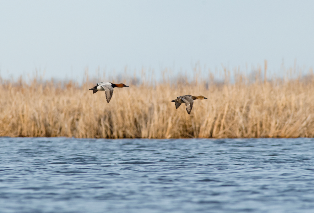 Over the past three years, DUC protected 29,180 acres (11,809 hectares) of prime wetland and surrounding habitat using Migratory Bird Treaty Act funding.