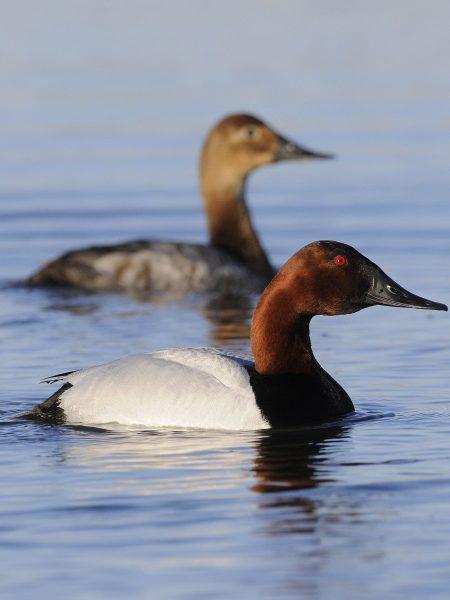 2018 waterfowl survey estimates populations of 41.2 million
