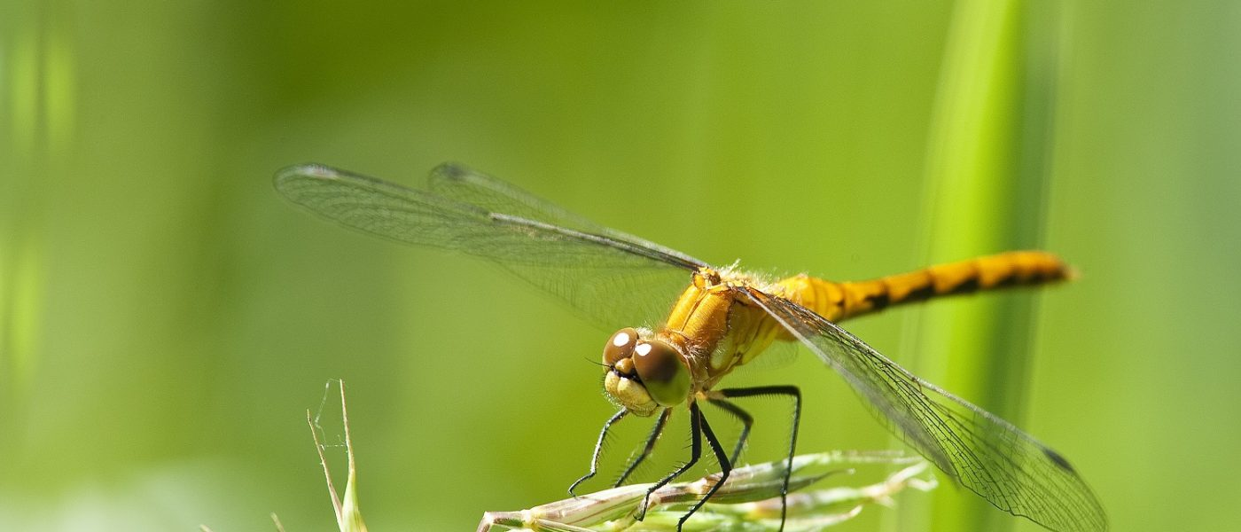 Dragonflies migrate using natural landscape features to guide them.