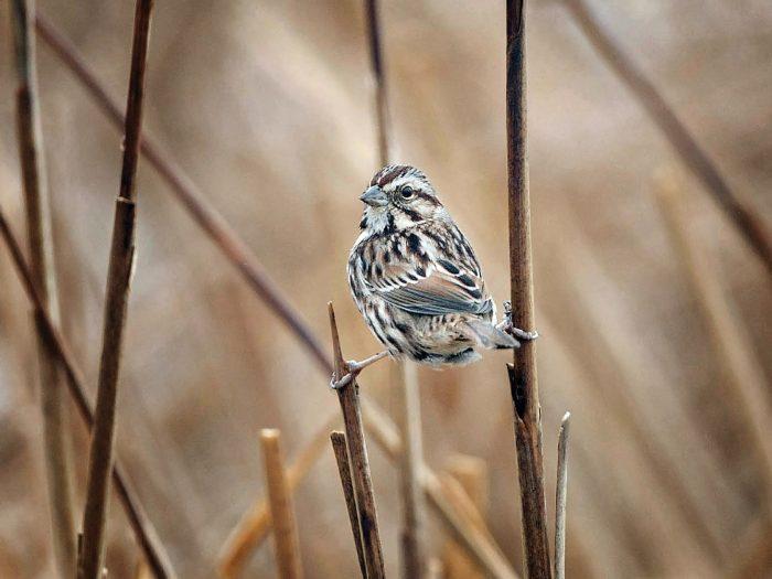 Song sparrow.
