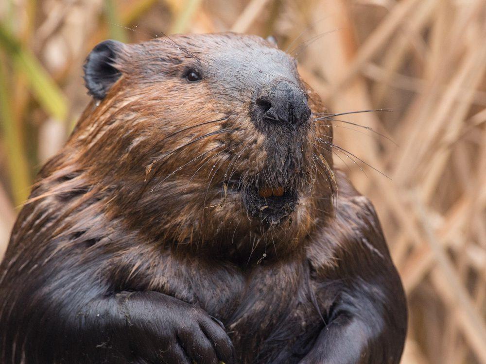 Beaver.