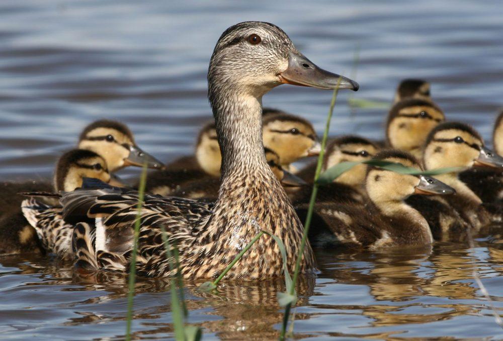 A brood of mallards on a seasonal pond.