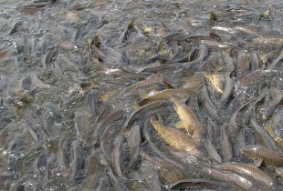 Cleaning up after common carp