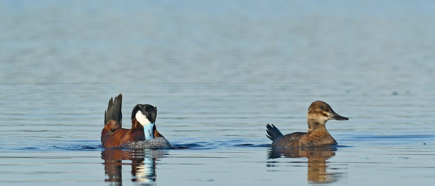 DUC Podcast Episode 9: World Wetlands Day and the curious courtships of drakes