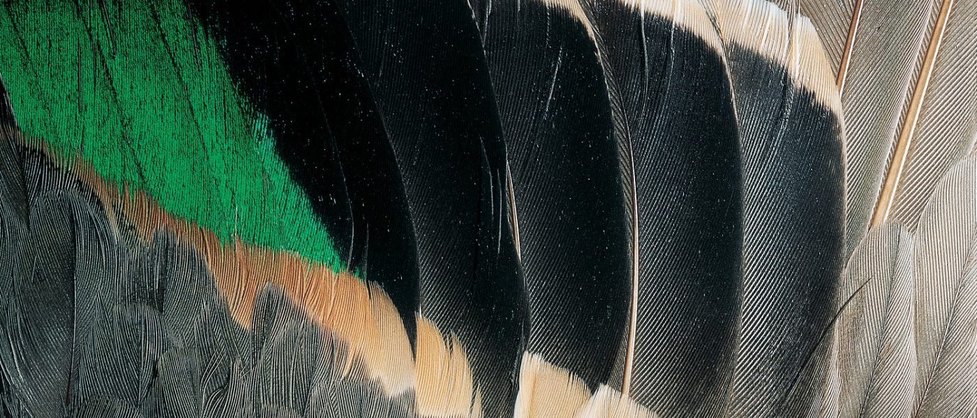 DUC Podcast Episode 3: Duck feathers and drones