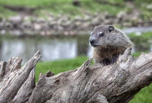 Stepping out of the shadow – make way for wetlands on Groundhog Day