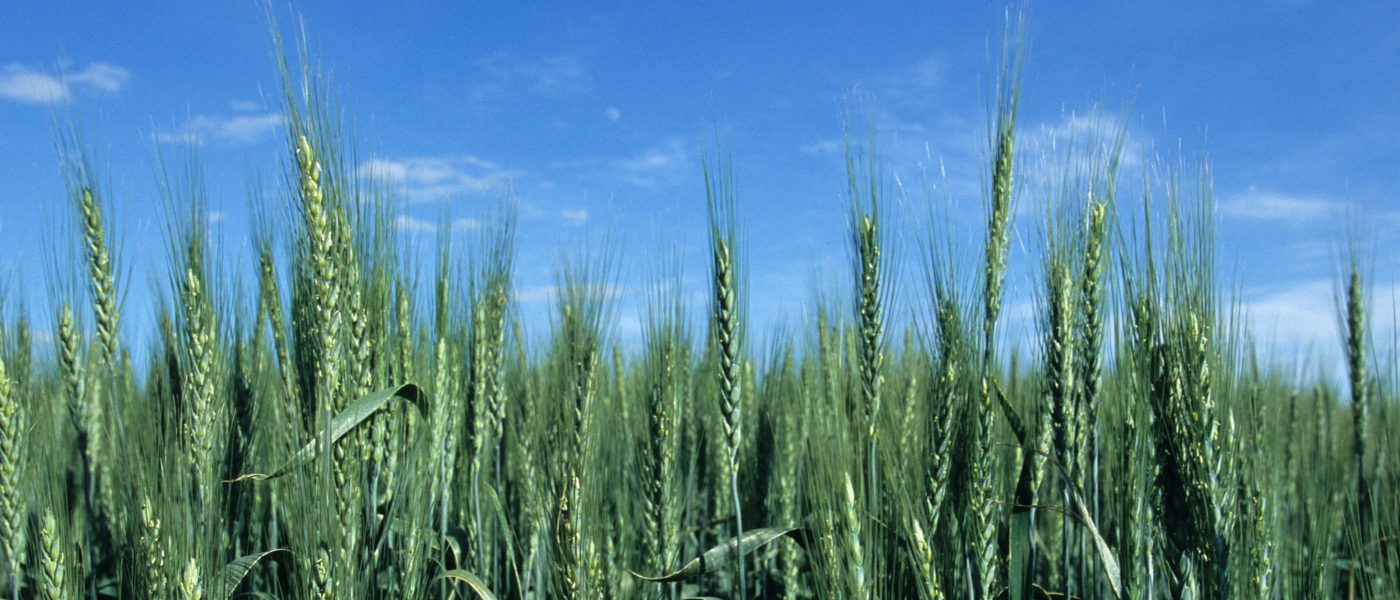 DUC Podcast Episode 10: Of wheat and peat