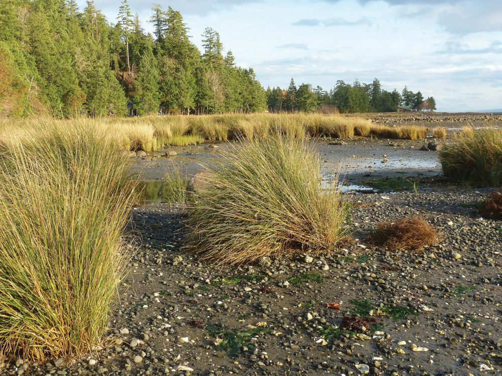 Invasive Spartina along the B.C. Pacific coast.