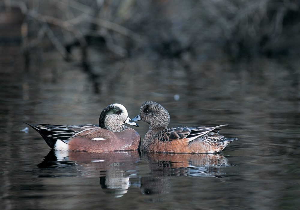 The Fraser River Estuary supports some of the highest densities of wintering waterfowl in the country, including species like the American wigeon.