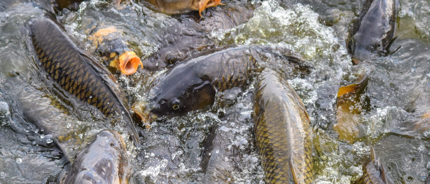 A mass of carp are stopped at the gates of a carp exclusion structure during their spring migration toward Delta Marsh.