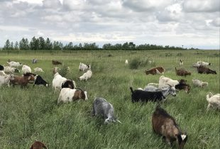 Ducks call on goats and cows to fight invasive plants in Prairie Canada