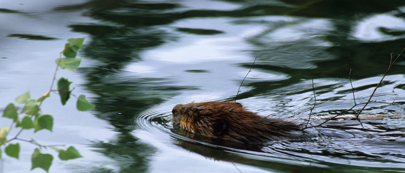 DUC Podcast Episode 20: The Beaver Relationship—It's Complicated