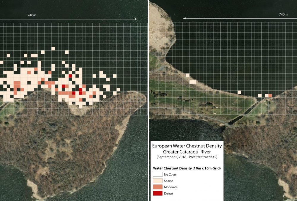 These maps show the reduction in European water chestnut plants following control measures in the Greater Cataraqui River.