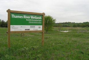 Thames River wetland restoration