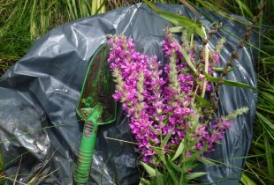 Reclaiming wetlands from purple loosestrife
