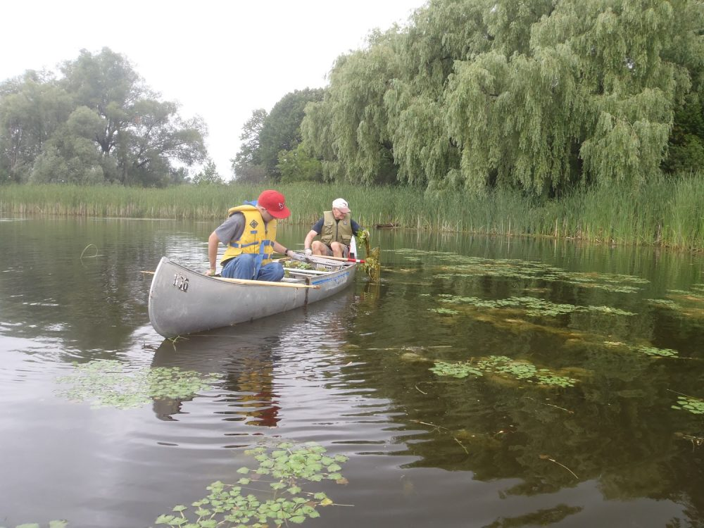 Peter Melvin, stern, joined the water chestnut removal effort on the Rideau River.