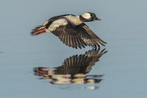 Bufflehead drake in flight.