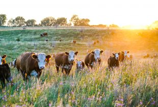 Amazing graze: forage program now underway from DUC and Nutrien Ag Solutions™
