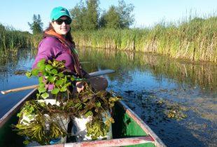 Working to eradicate the European water chestnut