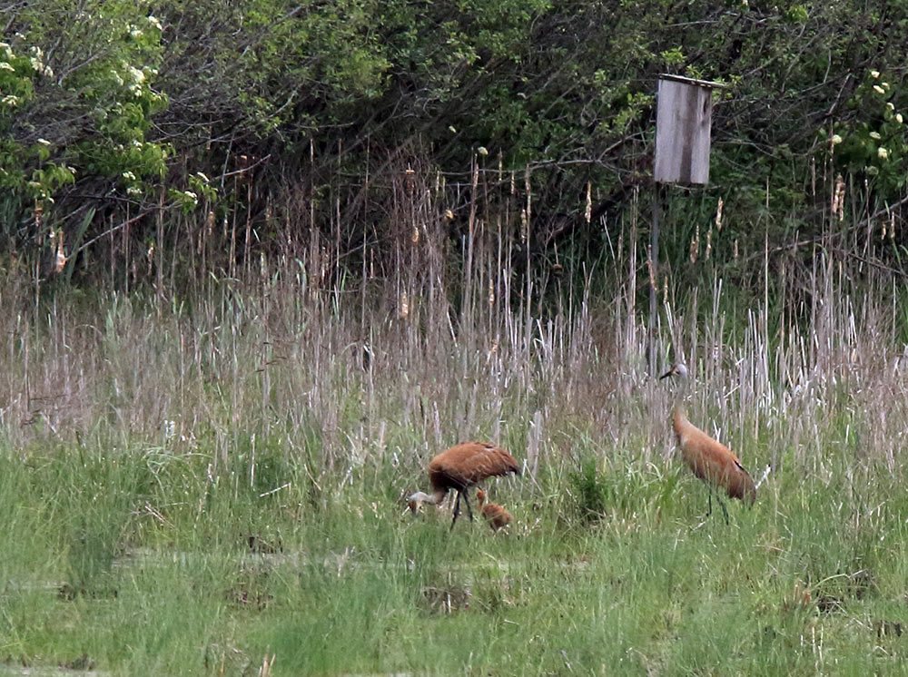 An exciting glimpse of Sandhill cranes with a recently hatched colt.