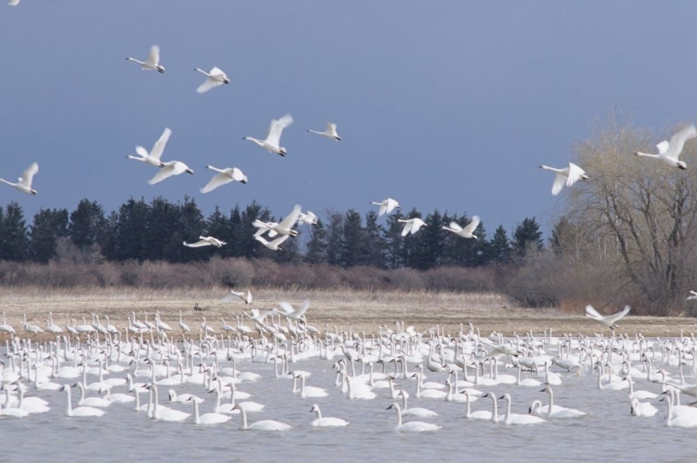 Tundra swans gather on the ice in early spring at the Aylmer WMA.